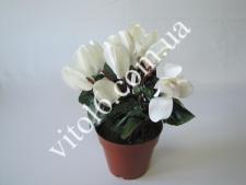 Цикламен белый   VT6-12248 (150шт)